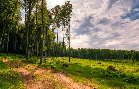 Strada forestale tra alberi ad alto fusto su un grande prato. bellissimo scenario naturale in primavera Archivio Fotografico - 90867870