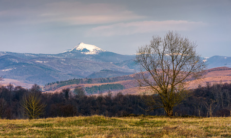 leafless trees on grassy hillside in mountains in springtime. spectacular snowy peak of mountain Pikui of Carpathian Bieszczady Wschodnie ridge in the distance