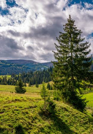 spruce tree on a grassy slope under cloudy sky. beautiful early autumn scenery in Carpathian mountains Stock Photo