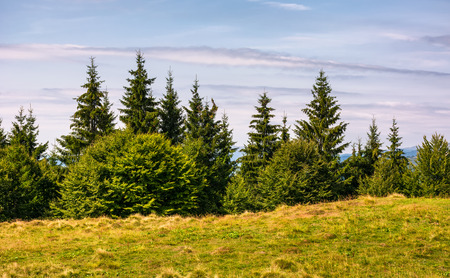 spruce forest on a grassy meadow. lovely summer nature scenery in mountains