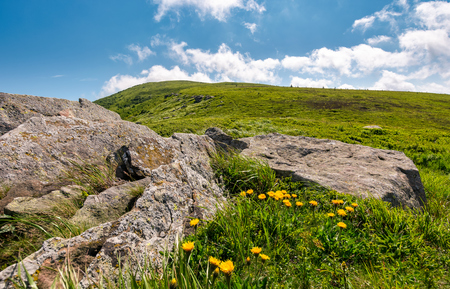 yellow dandelions on a grassy hillside. giant boulders on the grassy slope of Polonina Runa mountain ridge in summer Stock Photo