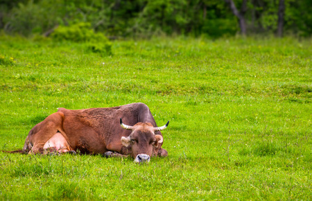 brown cow rests on a grassy meadow. cute animal emotion, act like a cat Stock Photo