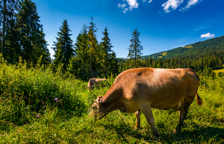cow grazing in a tall grass near the forest. beautiful summer scenery in mountains Stock Photo