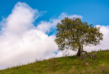 lonely tree on a grassy hillside with huge white cloud on the blue sky. beautiful early autumn nature scenery