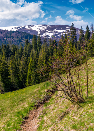 beautiful nature scenery in springtime. bush and a footpath on a grassy hillside. forest and mountain with snowy tops on the background