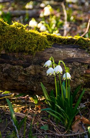 Weiß Blühende Frühling Schneeflocke Oder Leucojum Vernum Pflanzen ...