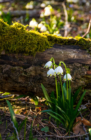 Blooming of White spring Snowflake near the fallen tree in springtimeforest. Snowflake also called Summer Snowflake or Loddon Lily or Leucojum vernum