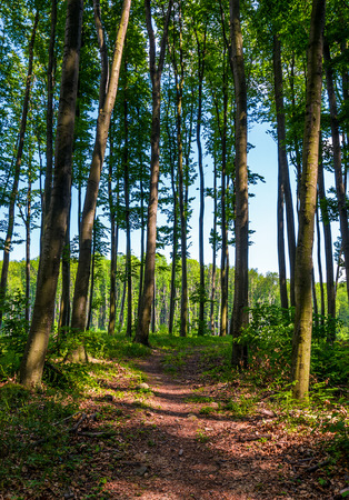 path through forest with tall trees. lovely summer scenery Stock Photo