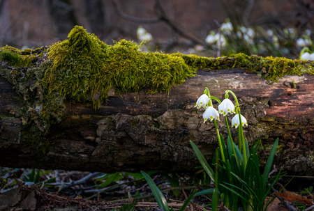 Blooming of White spring Snowflake near the fallen tree in springtimeforest. Snowflake also called Summer Snowflake or Loddon Lily or Leucojum vernum Stock Photo - 91334425