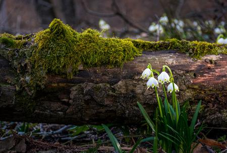 Het bloeien van Witte de lentesneeuwvlok dichtbij de gevallen boom in springtimeforest. Sneeuwvlok ook wel Summer Snowflake of Loddon Lily of Leucojum vernum genoemd