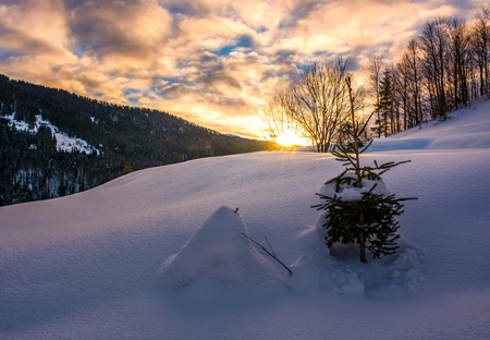 snowy slope on forested hill at sunrise. beautiful mountainous scenery with gorgeous sky in winter 版權商用圖片