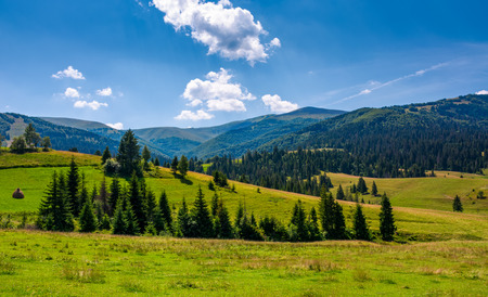 spruce forest on grassy hills of Pylypets. beautiful countryside at the foot of mighty Borzhava mountain ridge in summer Stock Photo