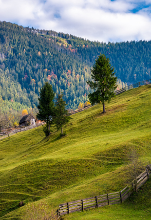 conifer tress on grassy hillside in autumn. beautiful rural scenery in mountains