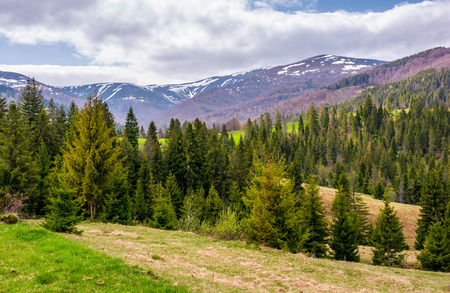 conifer forest on a rolling hills in springtime. beautiful mountainous landscape with cloudy sky Stock fotó - 91741316
