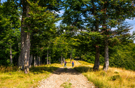 tourists on a dirt road through Primeval Beech Forests of the Carpathians. gorgeous nature scenery in summer