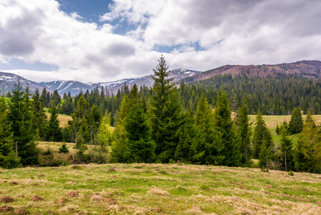conifer forest on a rolling hills in springtime. beautiful mountainous landscape with cloudy sky