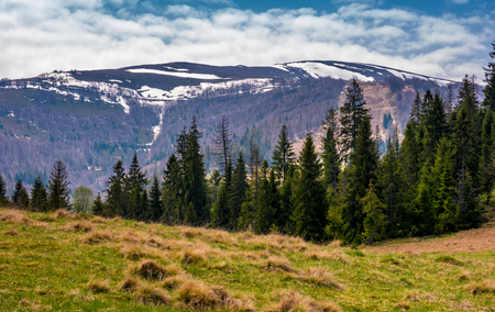 spruce forest at the foot of mountain ridge. beautiful springtime nature scenery in Carpathian alps