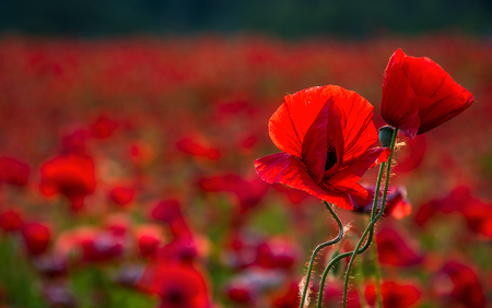 poppy flowers close up in the field. beautiful summer background Stock Photo