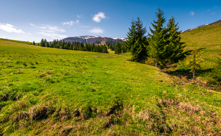 spruce trees on grassy hillside. beautiful springtime scenery in mountains with snowy tops Stock Photo
