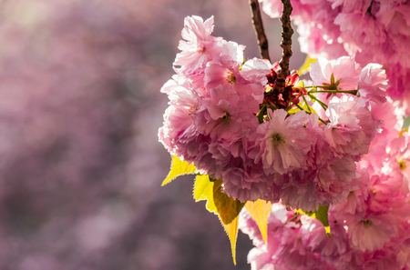 Beautiful springtime background. Sakura flowers blossom in garden