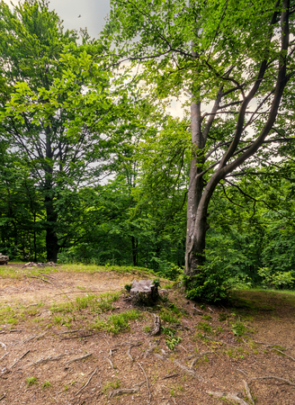 bomen van diep groen en oud bos.