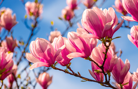 magnolia flowers branch on a blue sky background 스톡 콘텐츠