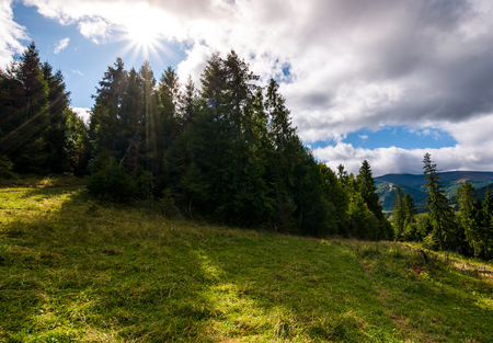 spruce forest on a grassy slope. beautiful nature scenery with bright sun on a cloudy day Stock Photo