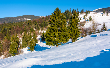 spruce forest on a snowy hillside. beautiful scenery on a bright winter day in mountains