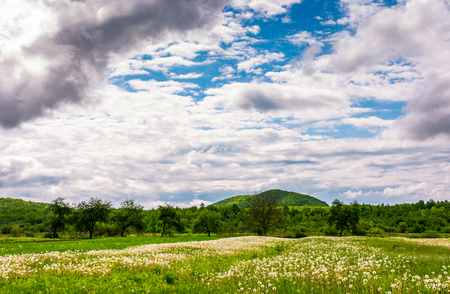 rural field of dandelions in springtime. beautiful agriculture scenery on a cloudy day