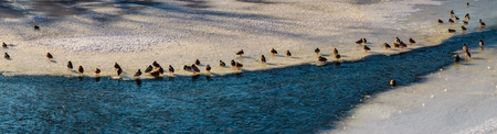 panoramic image with flock of ducks on the ice of frozen river Stock Photo