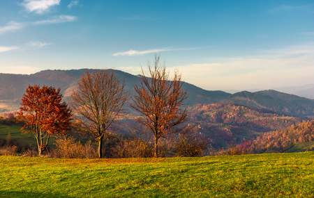 row of trees with red foliage on a grassy slope. beautiful autumnal countryside landscape of Carpathian mountains Stock Photo