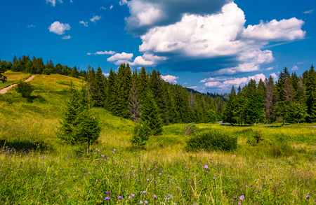 grassy fields and spruce forest in summer. lovely mountainous scenery in good weather Stock Photo