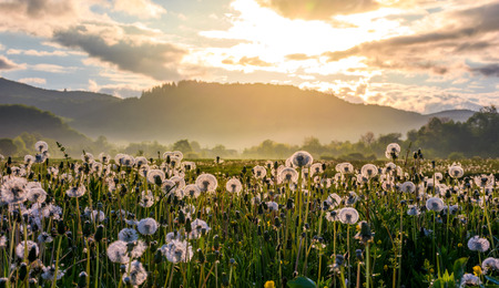 field of white fluffy dandelions at foggy sunrise. beautiful countryside scenery in mountainous area Stock Photo