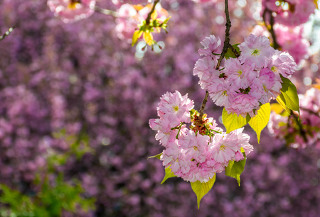 pink flowers on the branches of Japanese sakura blossomed in garden in spring Stock Photo