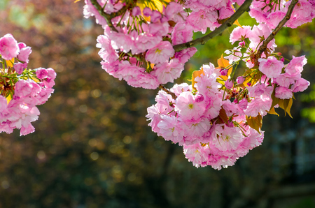 pink flowers on the branches of Japanese sakura blossomed in garden in spring Stockfoto