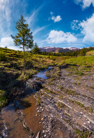 spruce tree and small brook in mountains. lovely springtime scenery in valley of Pylypets village. coniferous forest at the foot of Borzhava mountain ridge, with snowy tops, in the distance Stock Photo