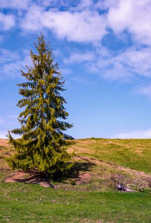 Alto abete sulla collina erbosa. paesaggio incantevole della natura di primavera con cielo blu e alcune nuvole Archivio Fotografico - 93507100