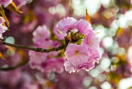 delicate pink flowers blossomed Japanese cherry trees on blury background Stock Photo
