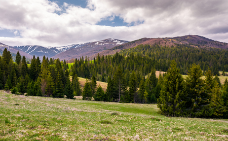 spruce forests on grassy slopes in springtime. beautiful landscape of Carpathian mountain on overcast day. Location - valley of Pylypets village, TransCarpathia, Ukraine