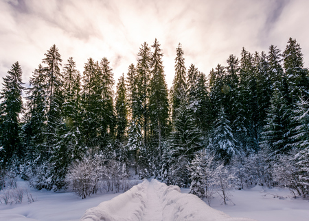 path in snowy spruce forest. beautiful nature scenery in Winter Carpathians. location Synevyr National park, Ukraine Stock Photo