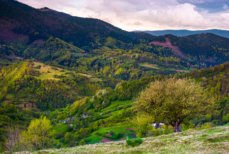 tree on grassy slope of mountainous rural area. Spring has sprung in Carpathian mountains. beautiful nature scenery on a cloudy day