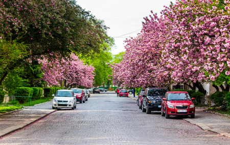 Uzhgorod, Ukraine - April 26, 2015: streets of Uzhgorod in cherry blossom. beautiful springtime background on sunny morning Editorial