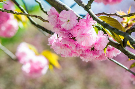 春の緑の庭に咲いた日本の桜の枝に浅い深さのピンクの花のクローズアップ