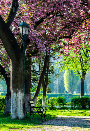 cherry blossom in city park. wooden bench and lantern under the branches of Sakura tree Stock Photo