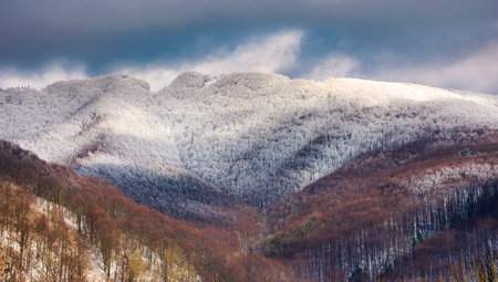 snowy top of the mountain on a cloudy winter day. forested hill with frosted tree crowns
