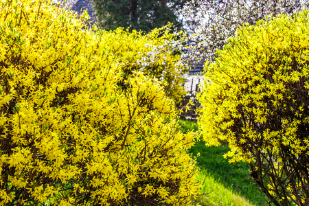 yellow flowers of forsythia shrub. lovely nature background in the garden on sunny springtime day 免版税图像 - 94042476