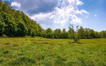 birch forest on grassy slope. lovely springtime nature background