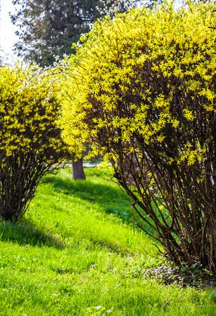 フォルシチア低木の黄色い花。晴れた春の日に庭の素敵な自然の背景 写真素材