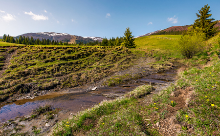 brook among the slopes with spruce forest. beautiful springtime landscape in mountains Stock Photo