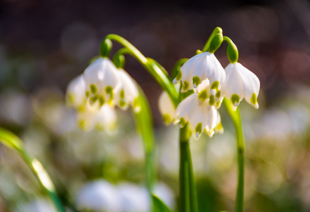 Beautiful blooming of White spring snowflake flowers in springtime. Snowflake also called Summer Snowflake or Loddon Lily or Leucojum vernum on a blurry background